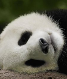 Photo of giant panda - China Tours