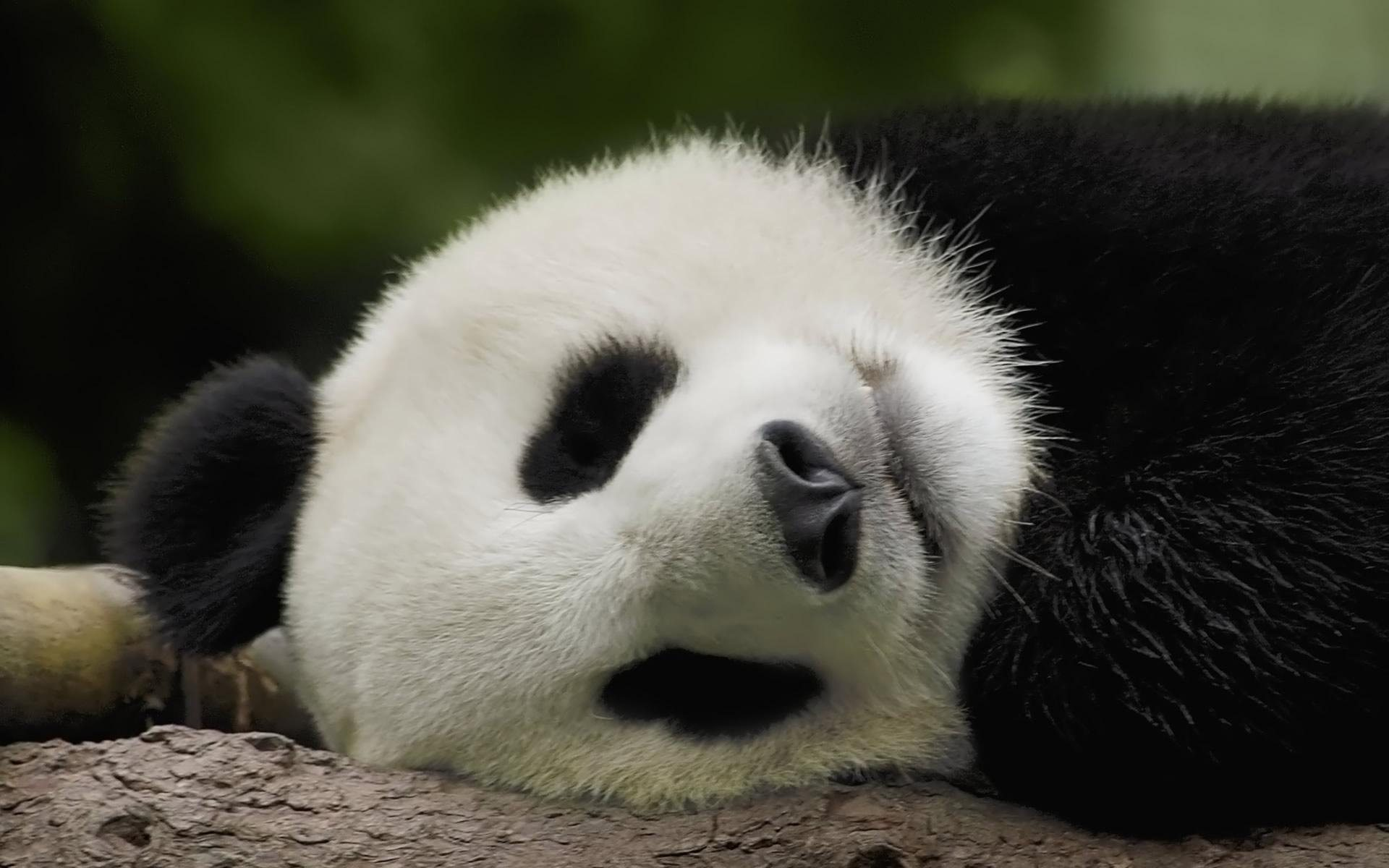 Photo of giant panda - China Tours